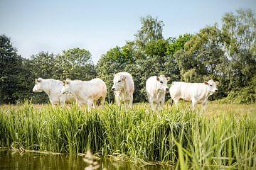 Fünf Kühe in einer Reihe von Evelien Oerlemans