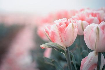 rosa Tulpen im Sonnenlicht von Kristof Ven