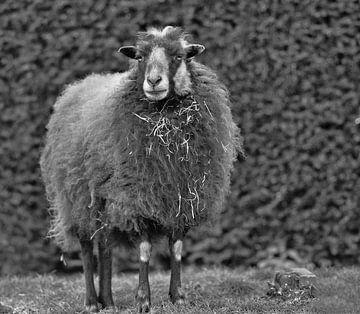 Shetlandschaf Schwarz-Weiß-Fotografie von JM de Jong-Jansen