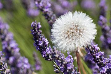 Paardebloem in lavendelveld sur Jolanda van Eek