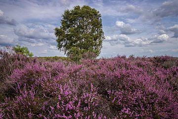 Bloeiende heide met boom van Hans Hoekstra