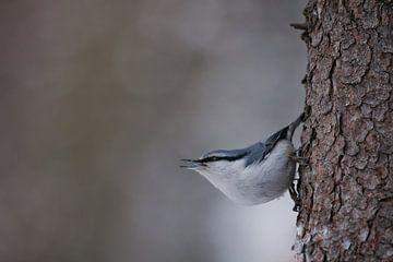 kleiner Vogel Kleiber auf der Rinde fröhlich schaut von Michael Semenov