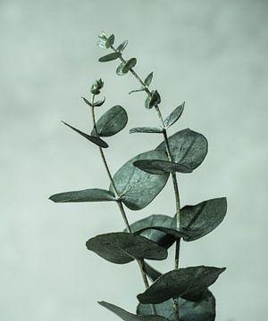 eucalyptus takken van Mariska Vereijken