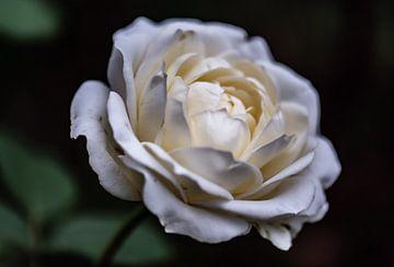 weiße Rose von Tania Perneel