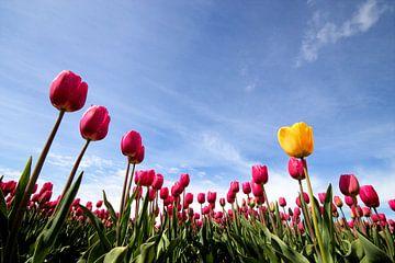 Tulpen in bloei von Frouwkje Fotografie