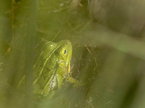 Groene kikker verscholen in het riet