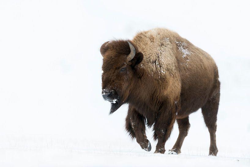 American Bison ( Bison bison ) in snow, Yellowstone NP, USA van wunderbare Erde