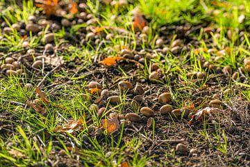 Afgevallen eikels tussen het gras van Ruud Morijn