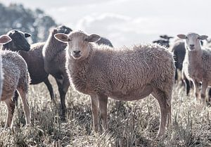 Een kudde veelkleurige bonte kleine schapen, nieuwsgierig schaap kijkt in camera van John Quendag