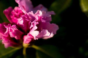 roze bloem, rhododendron | fine art fotografie kunst van Karijn | Fine art Natuur en Reis Fotografie