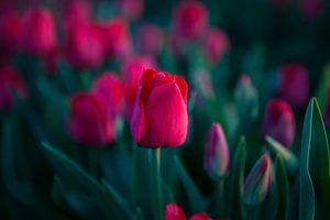 Magische Tulpen von Flowers by t.ART