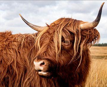 Schotse Hooglander van Ronenvief