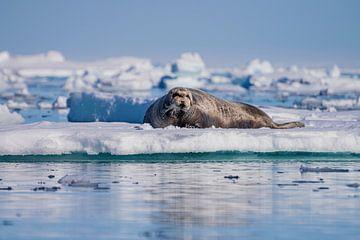 Rob (Siegel) Spitzbergen von Merijn Loch