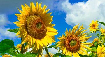 Sonnenblumen von Kirsten Warner