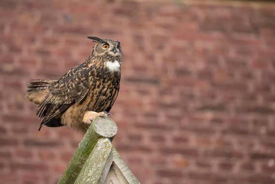 Eurasian Eagle Owl ( Bubo bubo ) adult male, perched on top of a church gable, urban surrounding, co