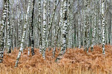 Birkenwald im Herbst von Gerry van Roosmalen