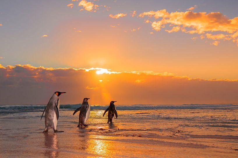Three King Penguins sur Jos van Bommel