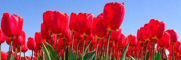 rode tulpen in panorama van eric van der eijk