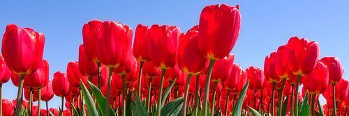 rode tulpen in panorama van