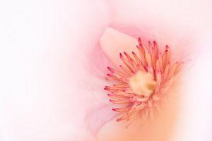 Magnolie von Eddy 't Jong