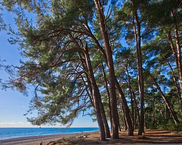 Path.Pine grove (bos) aan de kust van de blauwe zee op een zomeravond. Pitsundskaya bosje relikwie d van Michael Semenov