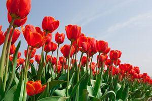 Rode tulpen tegen achtergrond van een helder blauwe lucht van