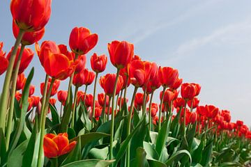 Rode tulpen tegen achtergrond van een helder blauwe lucht sur Henk van den Brink