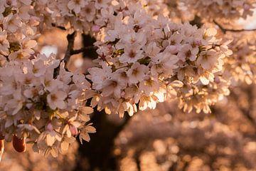 Japanse bloesem in het Amsterdamse Bos. van Kyra Hoekema