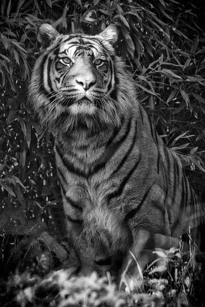 Sibirischer Tiger von Tilly Meijer