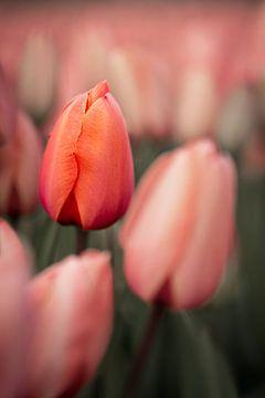 Nahaufnahme einer geschlossenen rosa Tulpe von 7.2 Photography