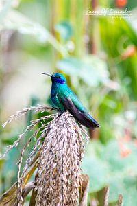 Colibri van
