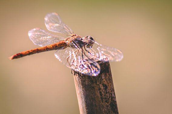 Libelle in de zon