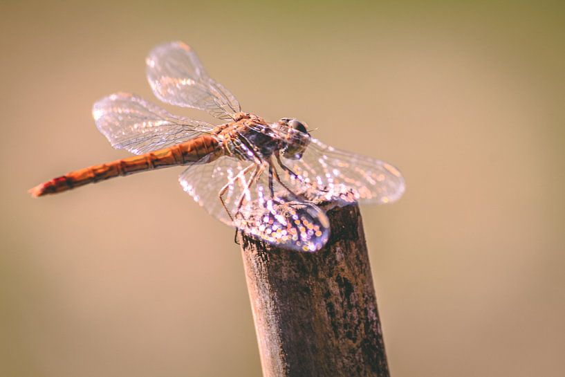Libelle in de zon van Eveline Dekkers