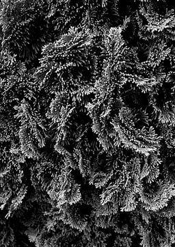 Conifeer in zwart-wit van
