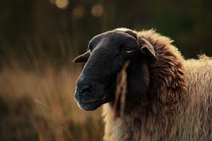 Portrait of sheep in heather field II