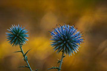 Nahaufnahme blühenden blauen Distel gegen eine Bronze Hintergrund. von Erwin Floor