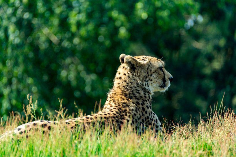 Luipaard op de uitkijk van Ton de Koning