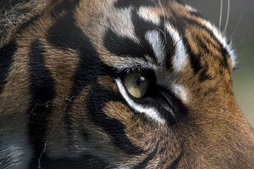 Sumatraanse Tijger sur Ronald Jansen