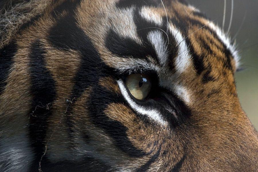 Sumatraanse Tijger van Ronald Jansen