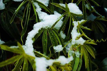 Plant met sneeuw von Sandra Bos