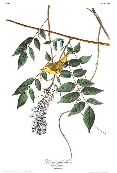 Mangrovezanger van Birds of America