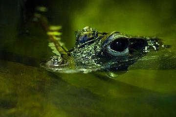 Un mignon petit crocodile regarde avec des yeux brillants l'eau verte d'un étang. sur Michael Semenov