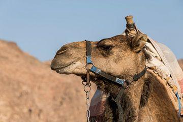 een kameel in de negev woestijn van israel bij eilat van Compuinfoto .