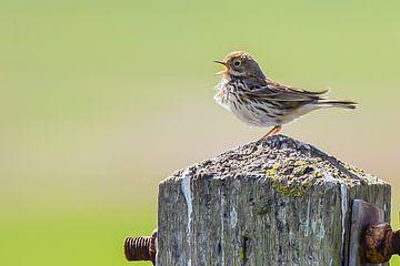 Singender Vogel auf Holzstange von Bert de Boer