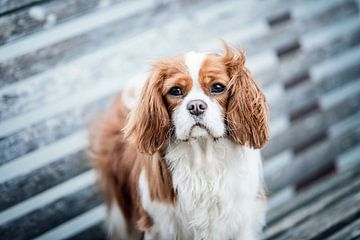 Cavalier King Charles Spaniel hond van Lotte van Alderen