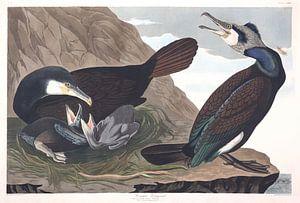 Aalscholver van Birds of America