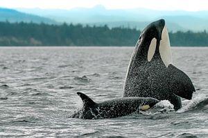 Spyhopping orka moeder met kalfje van