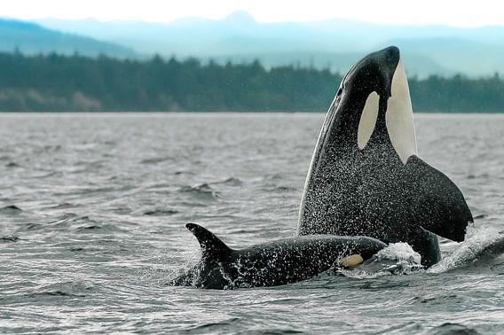 Spyhopping orka moeder met kalfje