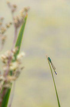 Libelle aan de waterkant sur