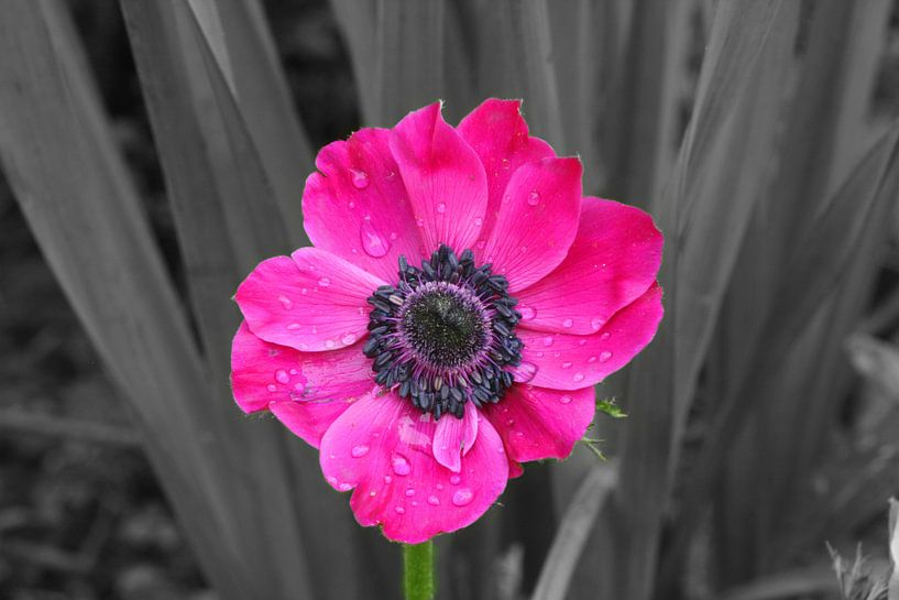 Flower in the summerrain  van Hanne Berden